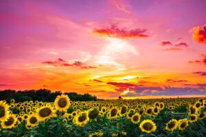 Texas Sunset over a field of sunflowers.