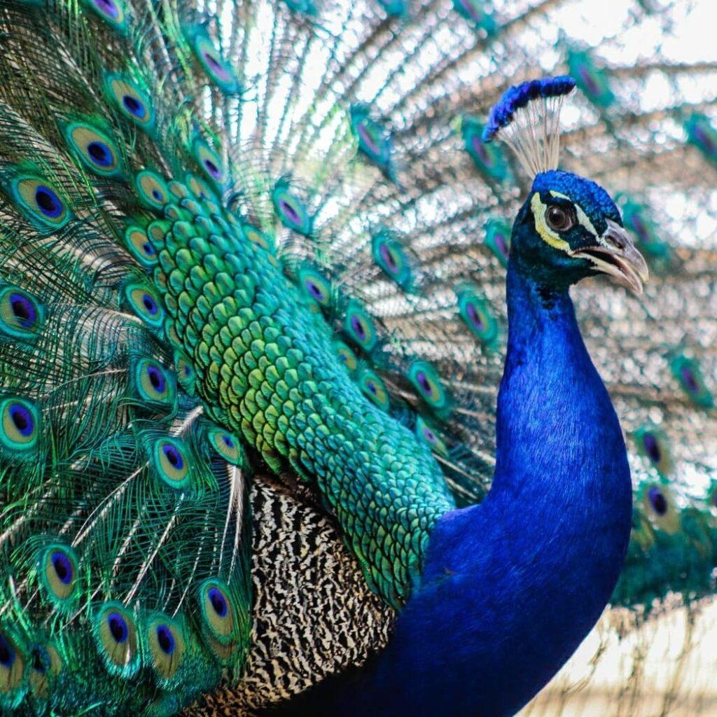 """""""Peacock"""" Photograph by KC Hulsman"""