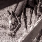 """""""Horse d'oeuvre"""" photograph by KC Hulsman"""