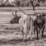 """Texas Longhorn I"" photograph by KC Hulsman"