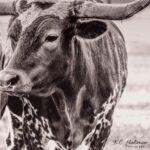 """Texas Longhorn II"" photograph by KC Hulsman"