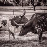 """Texas Longhorn III"" photograph by KC Hulsman"